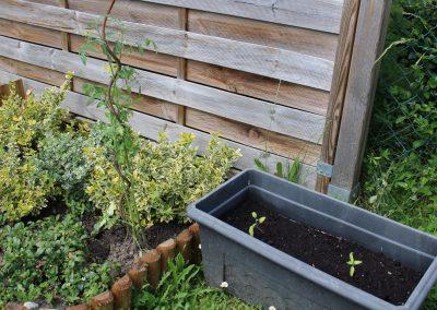 Die Tomatenpflanzen wachsen